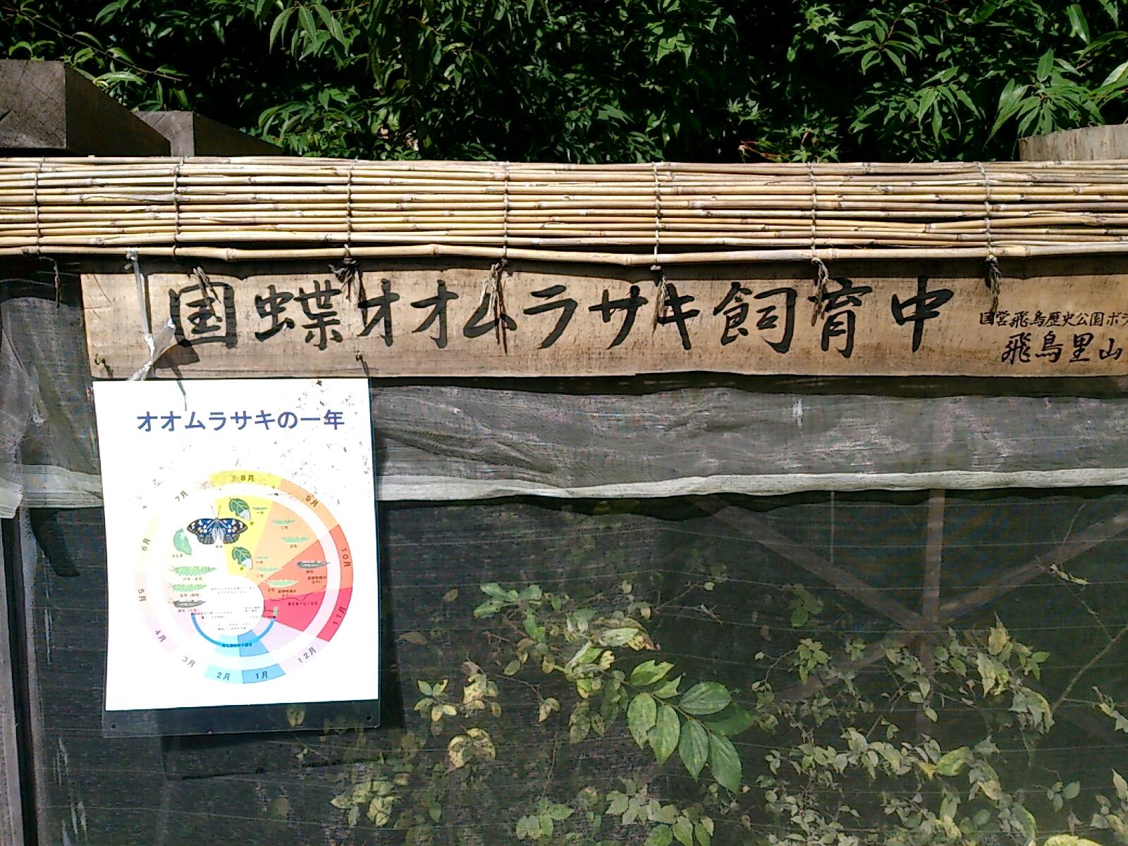 オオムラサキ飼育中
